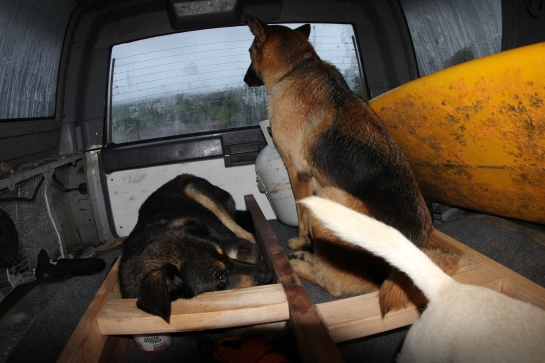 2.These are the two dogs I pulled out of the storm and put into my Toyota.  After falling asleep, I woke up to my tent blowing around wildly.  I ignored the problem for a while telling myself the tent was still up and I was still dry. This went on for 20 minutes until I started feeling wet. I turned on my headlamp and saw that there was a small storm going on inside my tent, and it was moving in ways I never thought possible for a tent. I decided that I was going to have to try to move into my truck. I opened a tiny slit in my tent door and stuck my head out. It was an instant sand blast in my face. I crawled the rest of the way out and found my first shoe. It took me about five minutes to find my second shoe all the while getting sand blasted and soaked. I could not see anything through the water, sand and dirt flying around. I grabbed my dog Hunter and carried him to my car. River the male German Sheppard was already outside my tent and I put him in the tent as well. I went and found Ember the female German Sheppard who was leased up and hiding under another car and threw her into my car. I then went back and grabbed all the electronics and brought them to the car. I then crawled in soaking wet with two wet German Sheppards and a wet Chihuahua.  I rolled up the windows and fell asleep. The funny thing is I was never worried or was scared the whole time. I knew that everything was going to be fine.